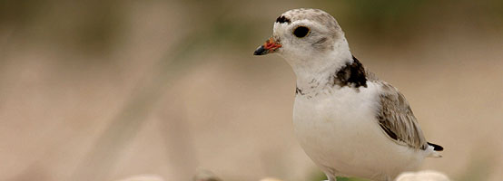 An adult Piping Plover. Piping Plovers nest on the beach, and their sandy coloring helps them blend in with their environment (Photo by Michael Cuhna, reprinted with permission)